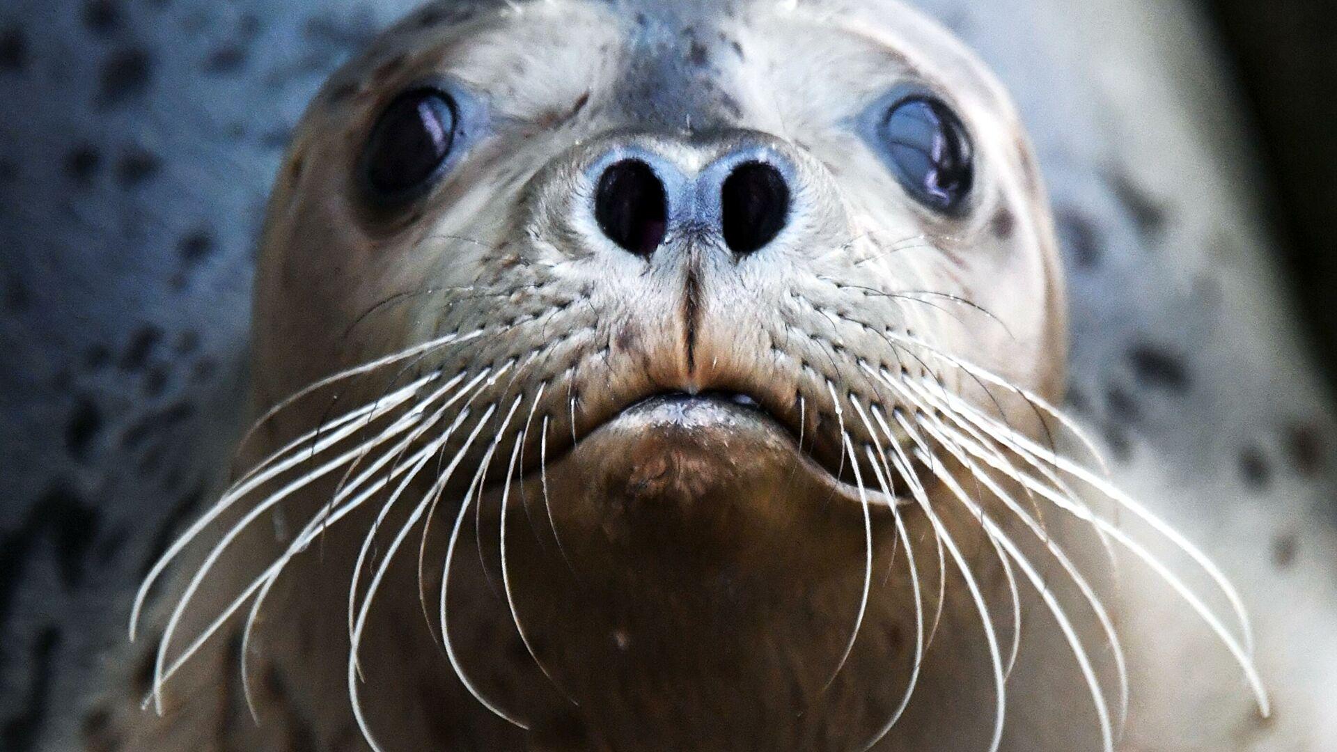 Спасенных в Ленинградской области тюленей выпустили в Финский залив